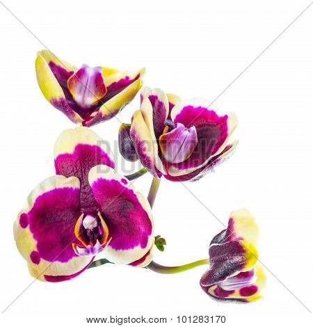 Blooming Branch Of Dark Purple With Yellow Rim Orchid, Phalaenopsis Is Isolated On White Background,