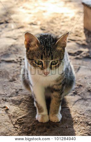 Thai Cat Cute