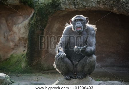 Chimpanzee Asking Something