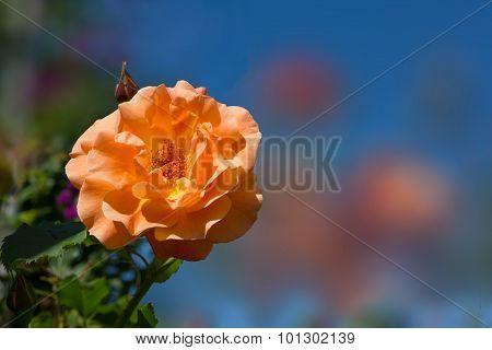 Fragrant Rose In Orange Pastel Color