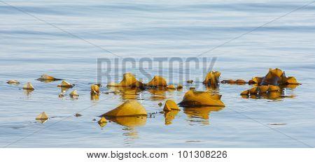 Brown Seaweed At Surface