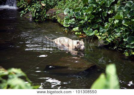White Tiger Swimming In River