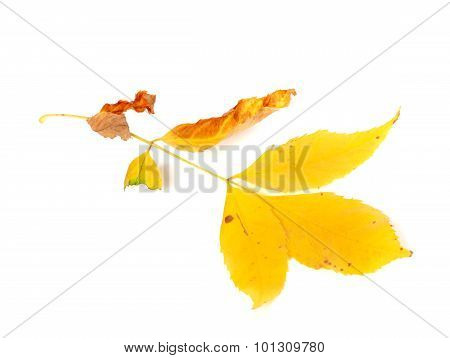 Dry Yellow Ash-tree Leaves