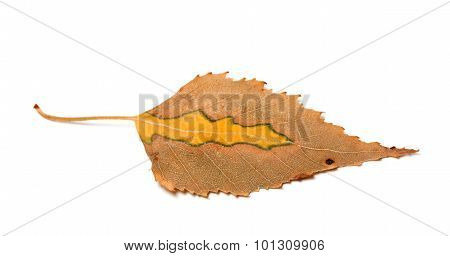 Dry Yellowed Autumn Leaf Of Birch