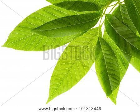 Leaves Of Walnut Tree