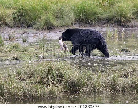 Black Bear with a Snack