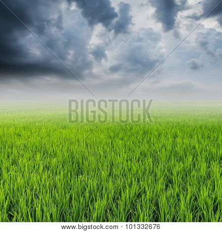 Rice Field And Rainclouds With Space