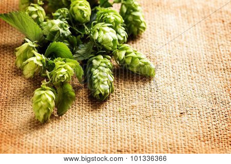 Fresh Branch of Hop close up on Burlap background. Ingredients for Beer. Beauty vintage backdrop of fresh hops over shabby sack linen texture. Brewing concept. Vintage style. Copy space for your text