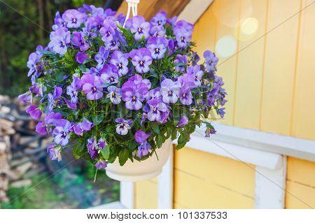 Blue Pansies Flowers Grow In Pot