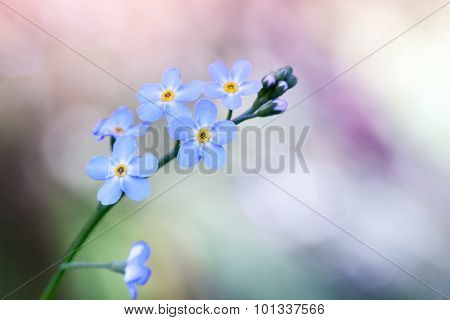 Forget Me Not Flowers On Colorful Background