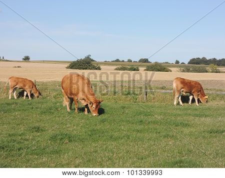 Red Cows Grazing On A Typical Danish Summer Day
