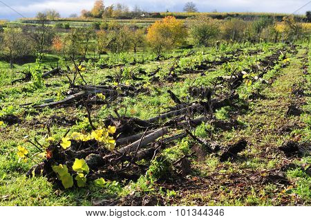 Grubbed-up vines