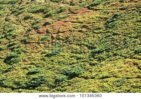 Background With Junipers In The Mountains