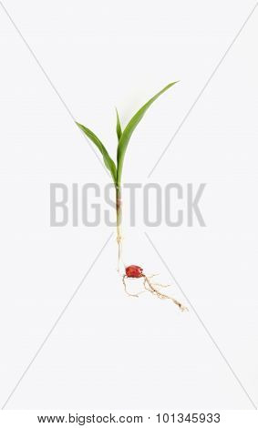 Corn Sprout On White Background