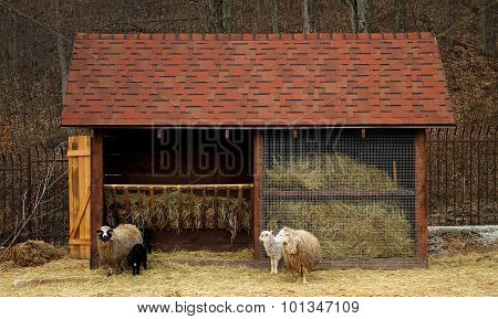 Ram, sheep and lambs at the cattle farm