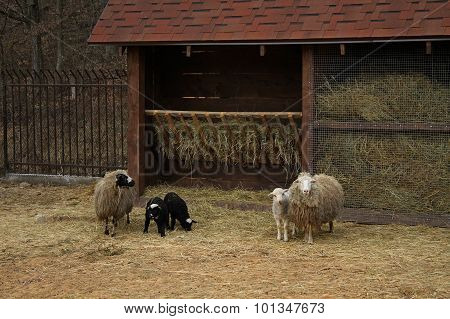 Sheeps family near manger with hay at the cattle farm