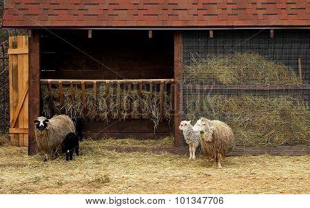 Ram, sheep and lambs near manger at the sheep farm
