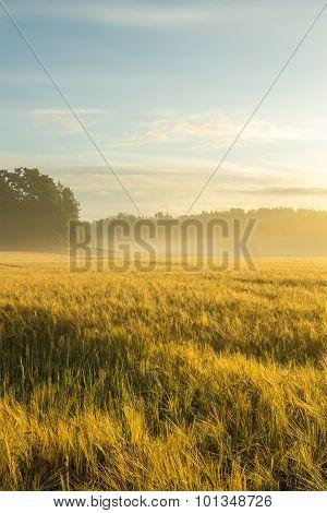 Golden Wheatfield In A Misty Morning