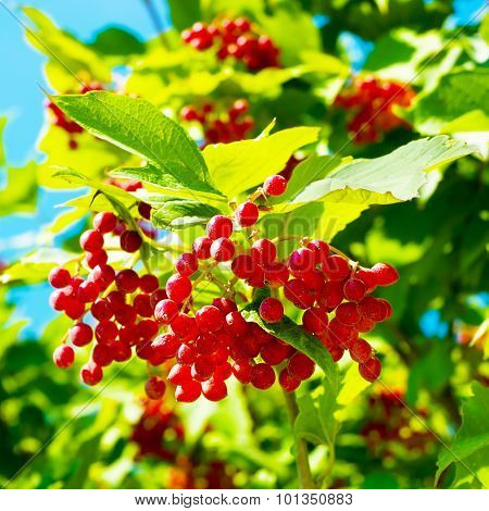 Fresh Viburnum Growing On A Tree