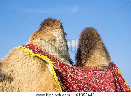 Humps Of Camel Against Blue Sky