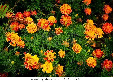 Yellow and orange marigold flowers in the garden
