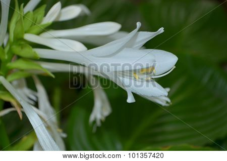 Hosta - decorative rhizome plant with large leaves