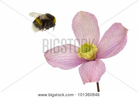 Bumblebee Landing On Purple Flower On White Background