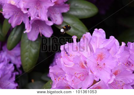 Bumblebee Landing On Purple Rhododendron Flower