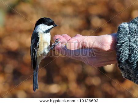 schwarz aufgestellter chickadee