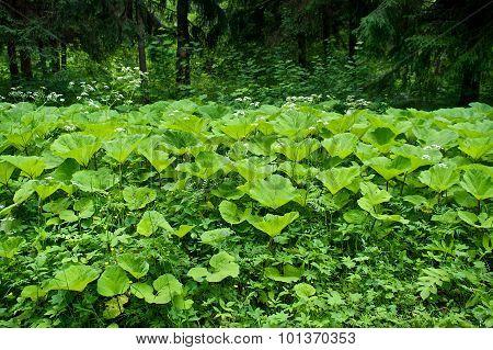 Burdock leaves in the forest. Tsarskoye Selo (Pushkin). St. Petersburg. Russia