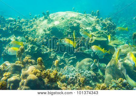 Coral Reef With Shoal Of French Grunt Fish And Hard Corals