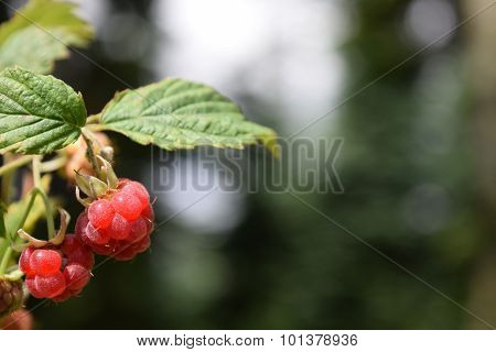 Wild Raspberries In Scandinavian Fir Forest