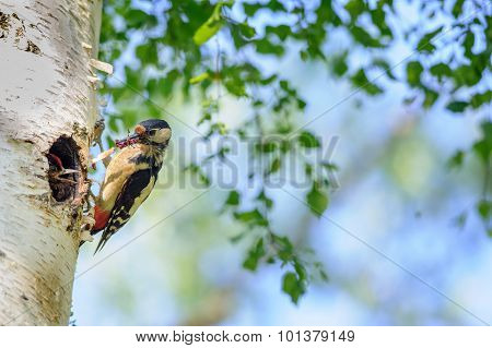 Great Spotted Woodpecker On Birch Tree Next To Hole With Young Bird