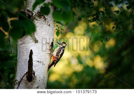 Great Spotted Woodpecker On Birch Tree Next To Hole