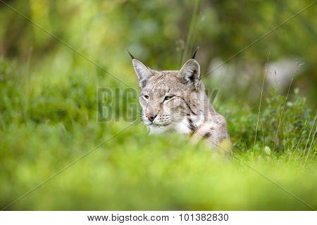 Eurasian lynx lying in the green grass
