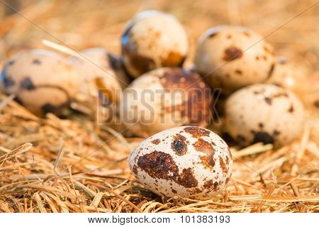 Quail Eggs Lie On Straw In The Chicken Coop