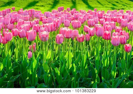 A Field Of Beautiful Pink Tulips Close Up