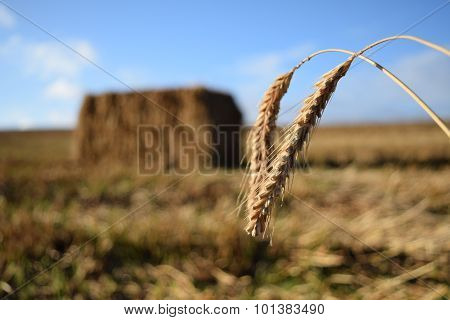 Wheat Harvest With Straw Bale In Background