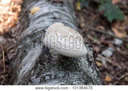 Birch Bracket