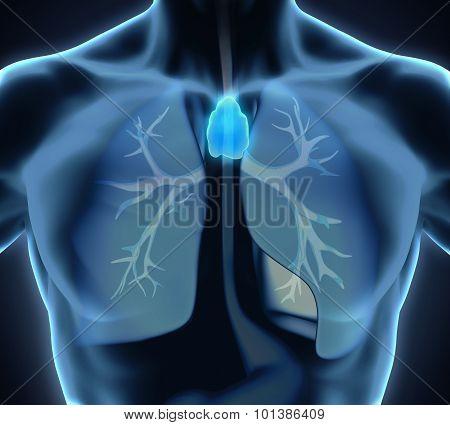Human Thymus Anatomy