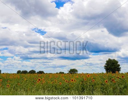 Sunflowers In Tanzania