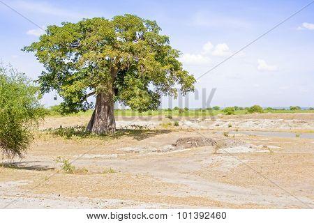 Baobab Tree In Tanzania