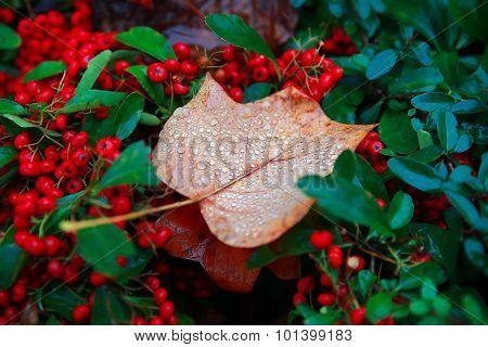 Autumn Leaf And Drops. Nature Composition.