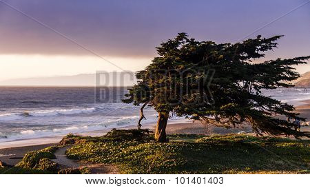 Windswept Cypress Tree Along The Northern California Coast