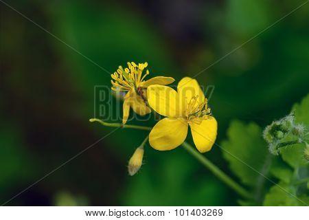 Macro Of Flowering Greater Celandine On Dark Background.