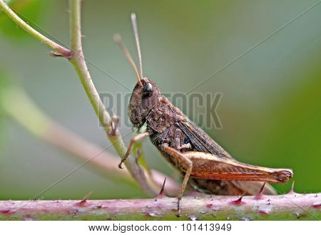 Grasshopper On Plant