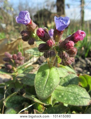 Pulmonaria Buds in Spring