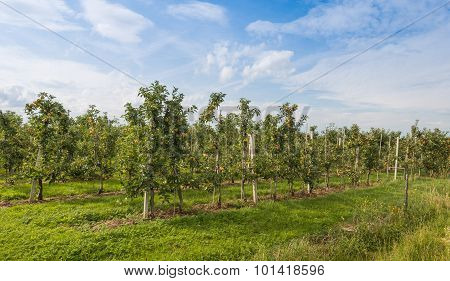 Modern Apple Orchard With Low Espaliers