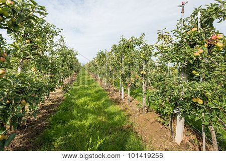 Path Between Low Espaliers In An Apple Orchard