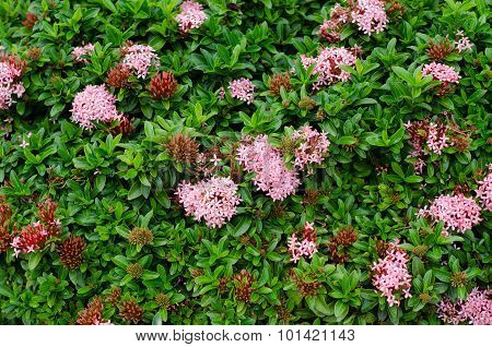 Ixora  Flower